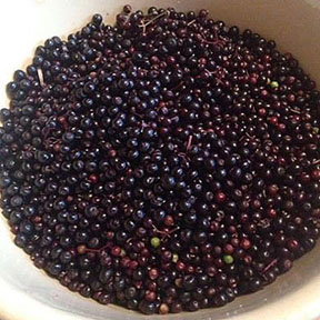 Elderberries: Easy to Grow Medicine