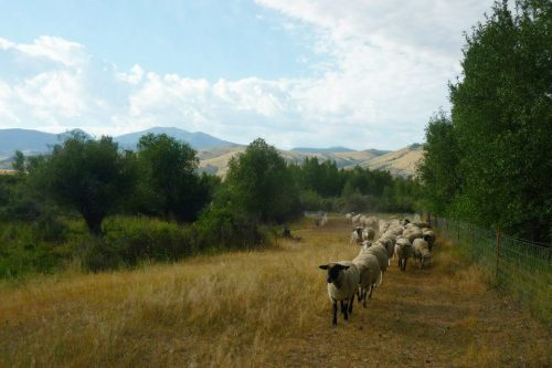 A line of sheep move along a fence through tall, brown grass in front of a mountain backdrop.