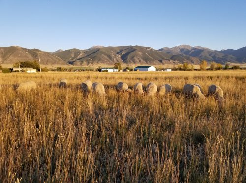 Grazing sheep disappear into the tall grass of a Montana flatland with a farmhouse and mountains in the background.