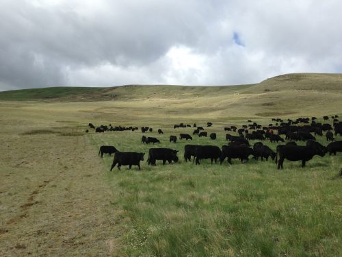 Black cows move from the right of the photo, which is trampled and grazed pasture, to the left, which is lush and tall grass.