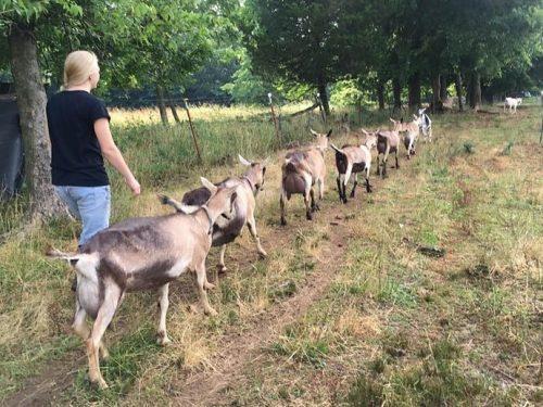 Dairy goats walking to barn.