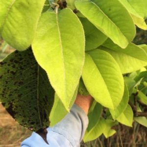 Pear Trees Exemplify Resilience