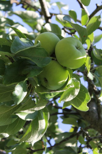 There are four key indicators of ripeness in apples and pears.