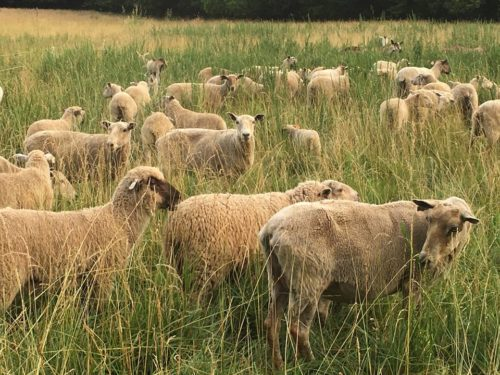 healthy sheep grazing in tall grass