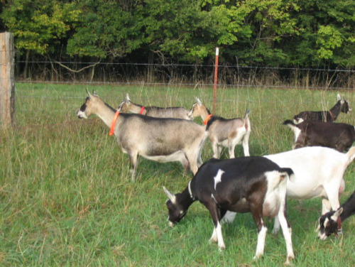 healthy goats on pasture