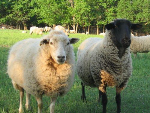 A Gulf Coast and a Suffolk sheep