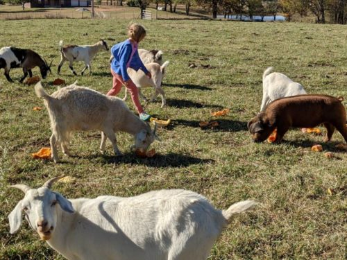 Goats and pigs eating discarded pumpkins.