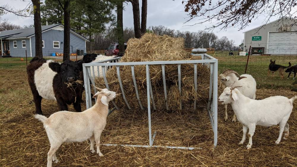 Elevated round bale feeder with goats eating hay.