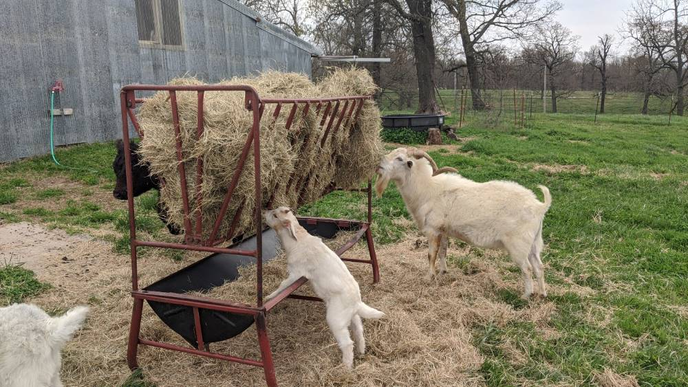 Elevated square bale feeder with goats eating hay.