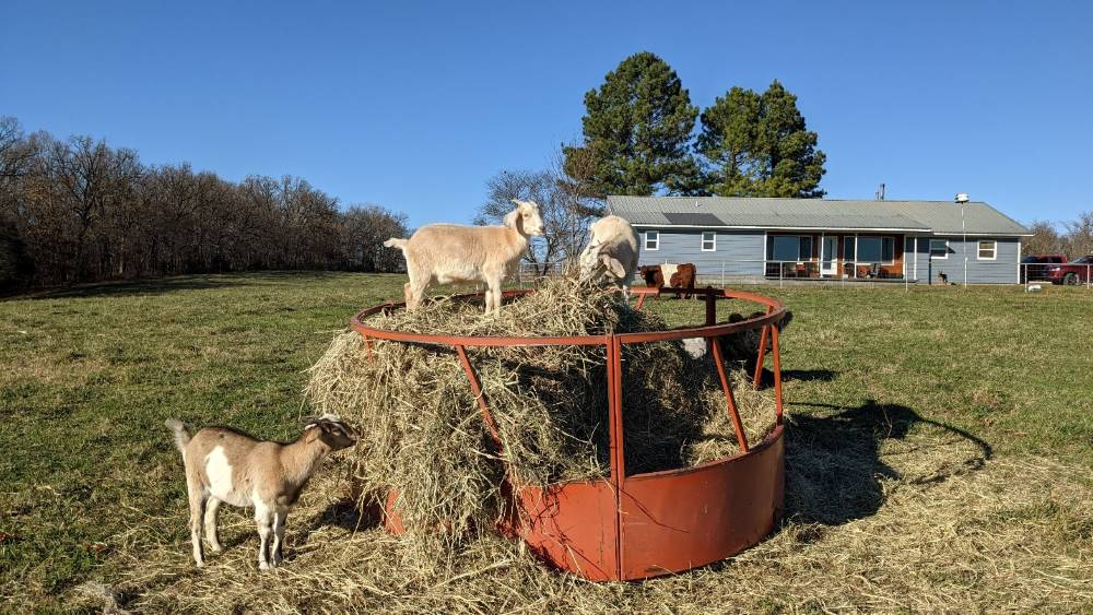 A metal hay feeding ring with goats standing on the hay inside.